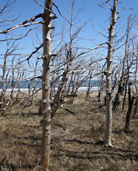 Burnt trees along the shoreline